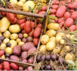 Colorful potatoes (250 x 230)